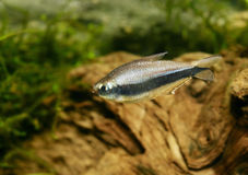 Emperor Tetra  (Nematobrycon palmeri) Stock Photo