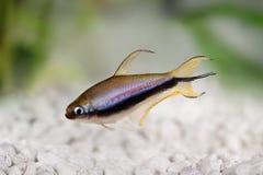 Emperor tetra Nematobrycon palmeri aquarium fish.  Royalty Free Stock Photos