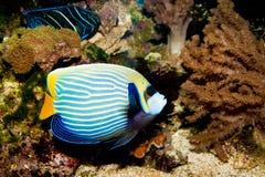 EmperorAngelfish in Aquarium Stock Image