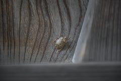 Empestez l'insecte sur la porte en bois avec le grain onduleux Photo libre de droits