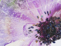 Empfindliche Anemonen eingefroren im Eis Lizenzfreie Stockfotos