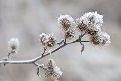 Empfindliche Anlage mit Reif am kalten Wintertag Stockbild