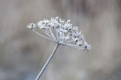 Empfindliche Anlage mit Reif am kalten Wintertag Stockfoto