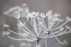 Empfindliche Anlagen mit Reif am kalten Wintertag Lizenzfreie Stockfotografie