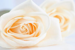 Empfindliche beige Rosen stockfotografie