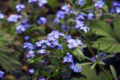 Empfindliche blaue Blumen unter dem Gras Vergissmeinnichte betriebe Frühling und Sommer stockfotografie