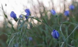 Empfindliche blaue Vincablumen Lizenzfreies Stockbild