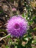 Empfindliche Blume Stockfotos
