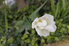 Empfindliche Blume Lizenzfreies Stockbild