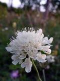 Empfindliche Blumen Lizenzfreies Stockbild