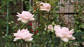 Empfindliche Farben des Rosebud, die von einem hellen Schlag des Winds schwingen stock video