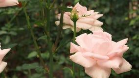 Empfindliche Farben des Rosebud, die von einem hellen Schlag des Winds schwingen stock footage