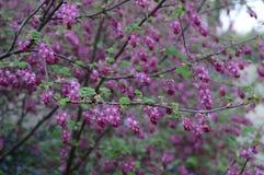 Empfindliche fr?he Blumen von Ribes sanguineum lizenzfreie stockfotos