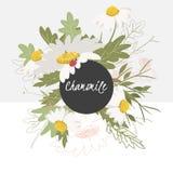 Empfindliche Kamillenblume der Illustration lizenzfreie abbildung