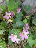 Empfindliche Kleeblume lizenzfreies stockbild