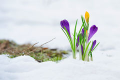 Empfindliche Krokusblumen im Schnee Stockbilder