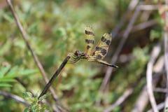 Empfindliche Libelle Lizenzfreie Stockfotos