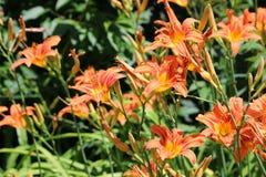 Empfindliche orange Taglilien Stockbild