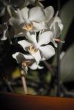 Empfindliche Orchidee auf Abendsonne Stockfotografie