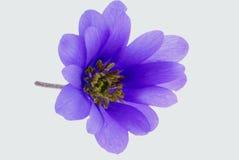 Empfindliche purpurrote Blume Lizenzfreie Stockfotografie