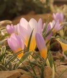 Empfindliche purpurrote und gelbe Krokus-Blume Stockbild