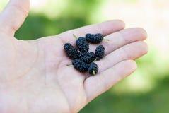 Empfindliche reife Beeren leicht halten Stockbilder