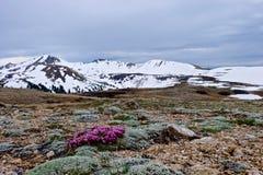 Empfindliche rosa Blumen des alpinen Klees und der Schnee mit einer Kappe bedeckten Berge Klee dasphyllum Lizenzfreies Stockbild