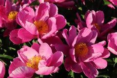 Empfindliche rosa Blumen mit gelben Mitten Lizenzfreie Stockfotografie
