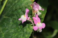 Empfindliche rosa Blumenblätter von Linaria blüht mit weißen Mitten Stockbilder