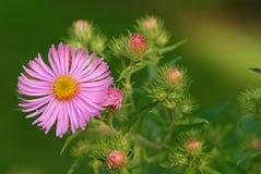 Empfindliche rosafarbene Blume Lizenzfreie Stockfotos