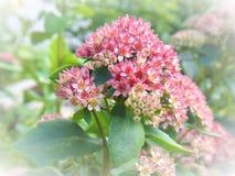 Empfindliche rosafarbene Blumen Stockbild