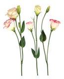 Empfindliche rosafarbene Blumen lizenzfreie stockfotos