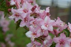 Empfindliche rosafarbene Blumen Lizenzfreies Stockbild