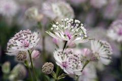 Empfindliche weiße Blumen befleckt mit Purpur Stockfoto