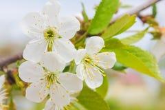 Empfindliche weiße Kirschblumen bei Sonnenuntergang Kirschblumen auf branc Lizenzfreie Stockfotos