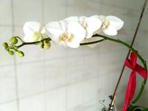 Empfindliche weiße Orchideenblumen mit rotem Bogen stockbild