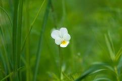 Empfindlichen weißen und gelben Blumenblattblume Acker-Stiefmütterchen Pansies an Lizenzfreie Stockbilder