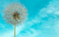 Empfindlicher Löwenzahn mit Samen auf Hintergrund des hellen blauen Himmels lizenzfreie stockfotografie