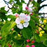 Empfindlicher schöner weißer rosa Apfel blüht auf einem grünen Hintergrund, Makro Blumen eines Apfelbaumabschlusses oben Lizenzfreie Stockfotografie