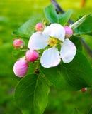 Empfindlicher schöner weißer rosa Apfel blüht auf einem grünen Hintergrund, Makro Blumen eines Apfelbaumabschlusses oben Stockfotos