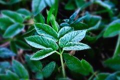 Empfindlicher silberner Frost auf einem gr?nen Blatt stockbild