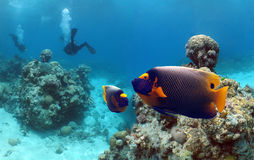 Empfish. Yellow-faced Angelfish (Pomacanthus xanthometapon) with divers Stock Image
