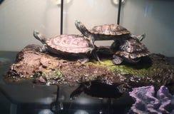 Empilhamento da tartaruga Fotografia de Stock Royalty Free