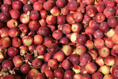 Empire apples Stock Image