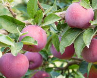 Empire apples in the apple tree Stock Photo