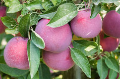 Empire apples hanging in the tree Royalty Free Stock Images