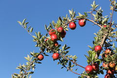 Empire Apples in Harvard, Massachusetts Royalty Free Stock Photos