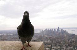 Empire State Pigeon. A New York pigeon shows his pride walking atop the Empire State Building Stock Images