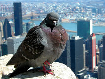 Empire State Pigeon. A pigeon very casually greets the visitors to the 86th floor observation deck of The Empire State Buidling stock photography