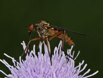 Empis Tessellata Fly Stock Image